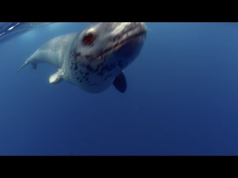 Realm of the Leopard Seal