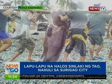 NTG: Lapu-lapu na halos sinlaki ng tao, nahuli sa Surigao city