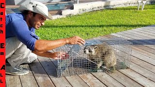 raccoon-trap-rabid-raccoon-destroys-everything-best-way-to-safely-catch-a-raccoon
