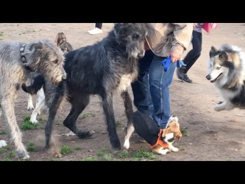 A Terrier is Terrified of Irish Wolfhounds