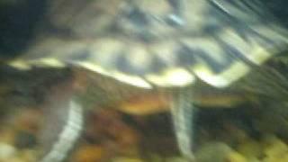 3 Turtles vs 5 Crawfish final showdown!
