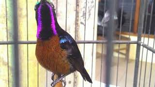 Gambar cover Langsung nyaut!!! Masteran Burung Kolibri Ninja  super efektif bikin Burung Kolibri Ninja  gacor dan