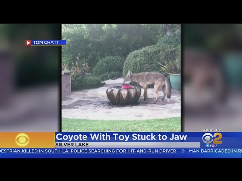 Distressed Coyote In Echo Park Poses Challenge For Community