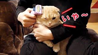 苦手なブラッシングを頑張る短足猫が健気で可愛い