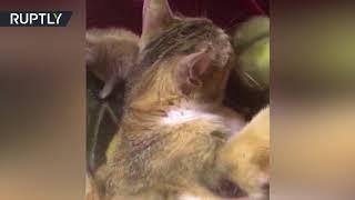 В Пскове кошка взяла на воспитание двух детёнышей суриката