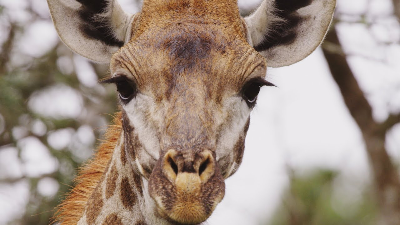Animal Odd Couples Youtube giraffe's blue tongues | wild lands: south africa | bbc earth