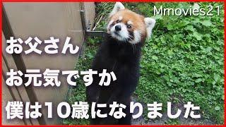 レッサーパンダのエイタ 立ち姿が美しいのは父・風太くん譲り 10歳の誕生日 Red Panda Life