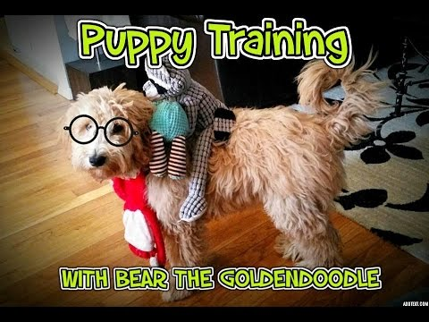 GOLDENDOODLE PUPPY TRAINING