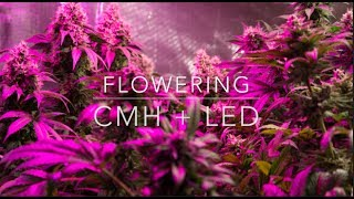 Holy Colas & Bad Haircuts: LED + CMH in Week 6 Flower