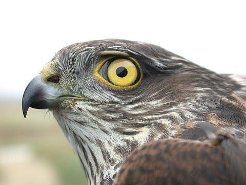 Sparrowhawk ~ Eurasian Sparrowhawk Bird Call