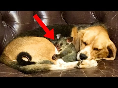 This Beagle Was Depressed But Then She Made An Unusual Friend!
