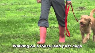 Paddi - Labradoodle - 3 Week Dog Boot Camp At Adolescent Dogs Uk / Surrey