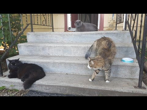 Cute Norwegian Forest, Old Blue and Big Black Bear Cats Funny