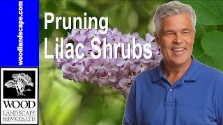 Lilac Bushes: Tom's Tip on Pruning Back Your Lilacs