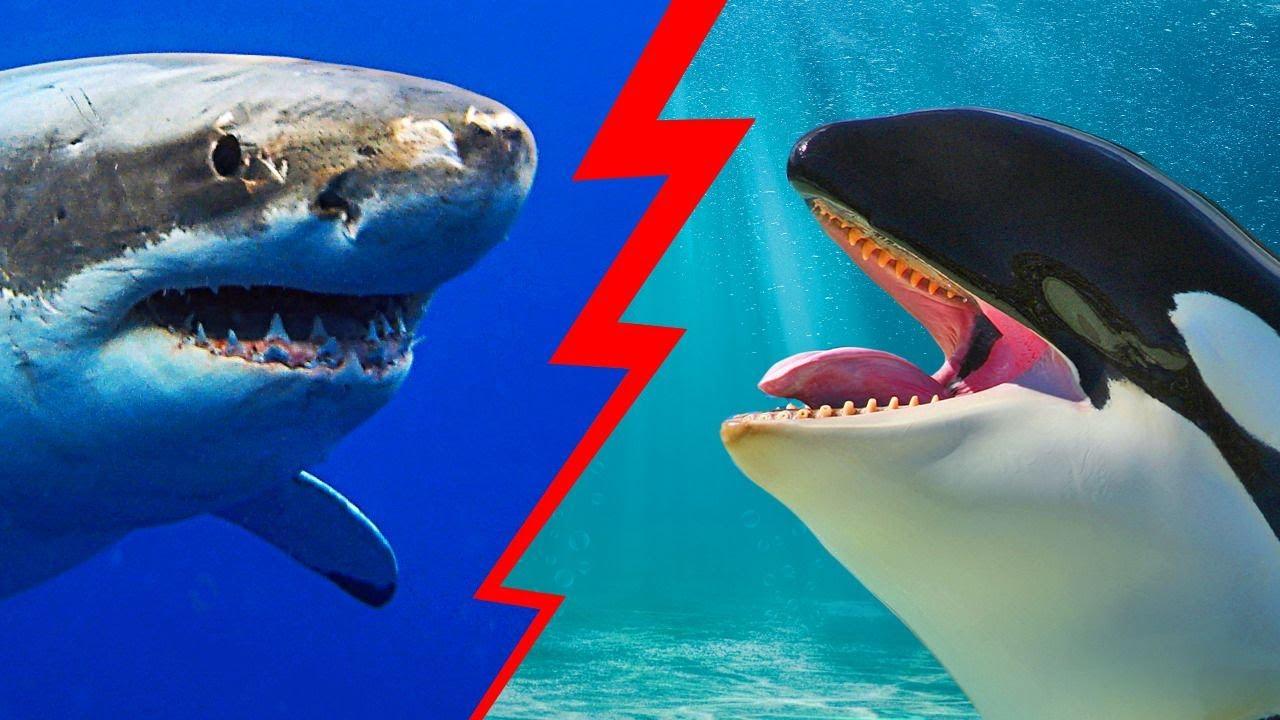الحيوان الوحيد الذي يرعب القرش الأبيض الكبير
