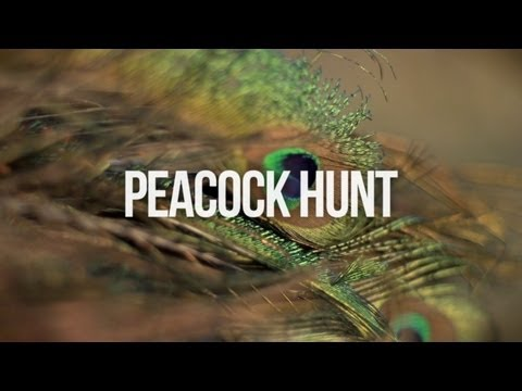 Peacock Hunt - Far North New Zealand
