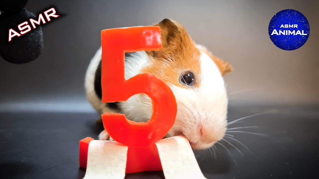 Trailer | Guinea Pig Eating ASMR #5 Red Bell Pepper