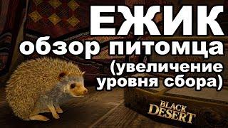 ежик-собиратель: результаты тестов. Обзор питомца в Black Desert (MMORPG - ИГРЫ)