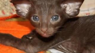 Ориентальные кошки Korleoni видео