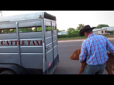 CATTLE TAXI