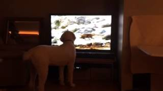 Poodle Watching Tv