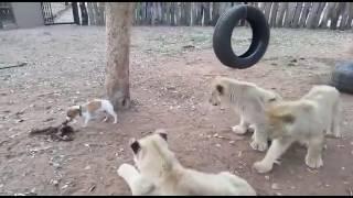 Собака кусает за зад львов