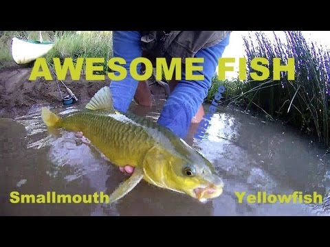Smallmouth Yellowfish on Fly, Orange river , South Africa ..AWESOME Fishing