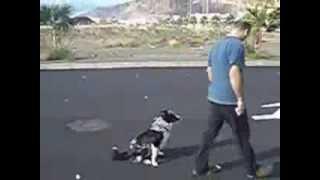 Adiestrador Tenerife Border Collie Dog Training In Obedience Oci