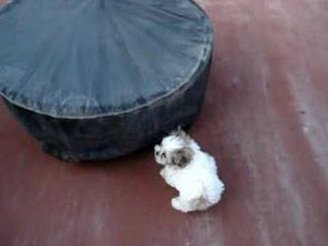 how big does a shih tzu get shih tzu puts big dogs in check youtube 5323