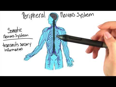 The nervous system - Intro to Psychology
