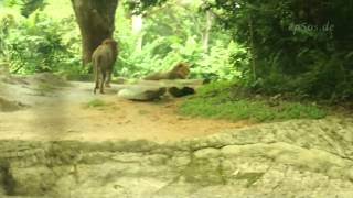 Gay Lions - Singapore Zoo