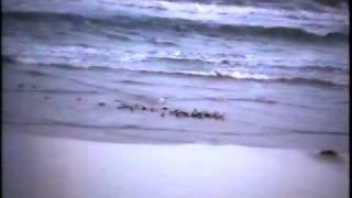 フィリップ島のペンギン1