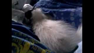 Skunk on the bed - Zorro the skunk