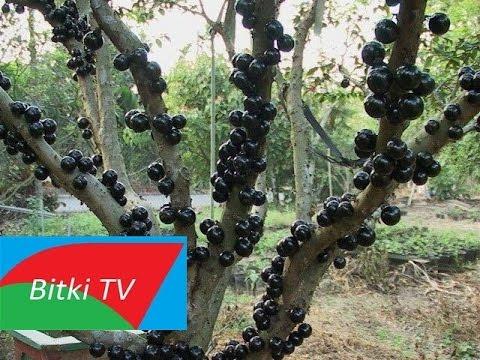 Gövdesinden Meyve Veren Ağaç Jabuticaba Guapuru Nedir