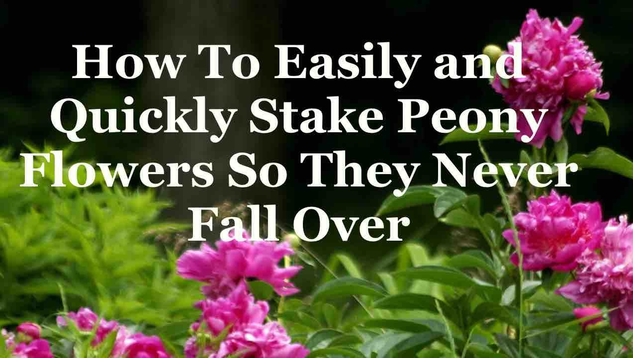 Pianese Flowers How To Easily And Quickly Stake Peony Flowers So They Never Fall Over