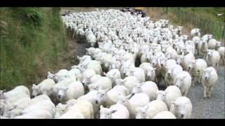 SHEEP REARING BASICS URDU DR.ASHRAF SAHIBZADA.wmv