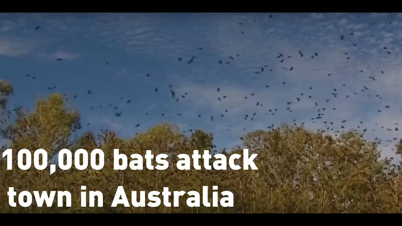Invasion by 100,000 bats causes 'natural disaster' in Australian ...