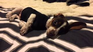 Sassy Dachshund Doesn't Like His Sock Sweater