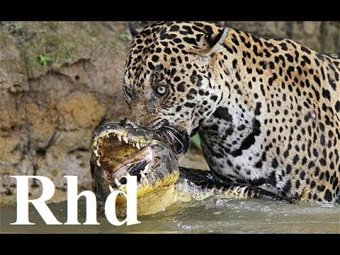 Jaguar vs caiman,