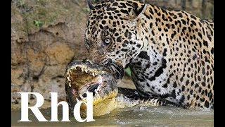 Jaguar vs caiman, rainforest pantanal in Brazil,  Nature 2018 HD Documentary. (1)