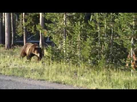 Grizzly bear on its morning walk near Old Faithful Lodge - Yellowstone WY