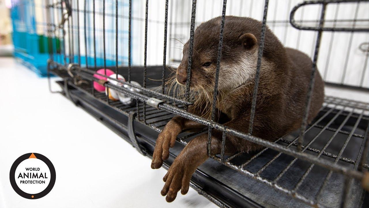 Wildlife. Not Pets   Pet otter craze