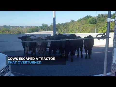 Cows on the loose snarl traffic in Nashville, Tennessee