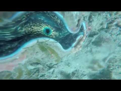 WORLDS BIGGEST CLAM SPECIES The giant clam (Tridacna gigas) Scuba Diving Philippines Michael Fazio
