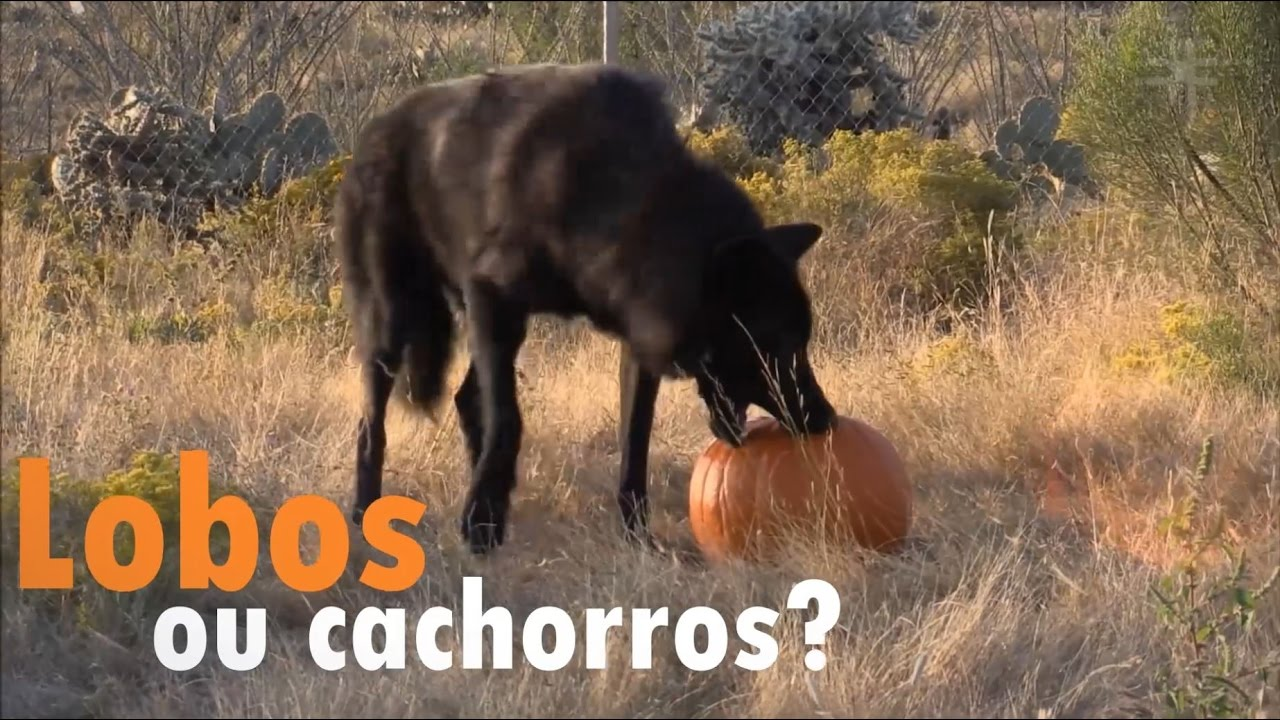 Fique Sabendo Lobos Ou Cachorros Youtube
