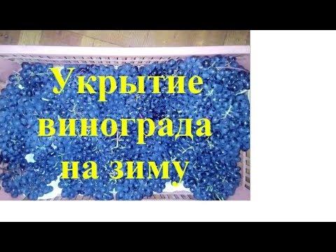 Виноград Укрытие на зиму в Сибири Урожай  Просто  доступно grapes in autumn cover