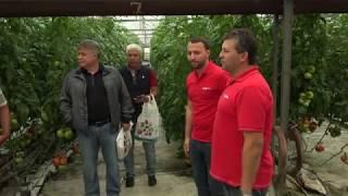 Нови хибриди високорастящи червен и розов домат от Синджента