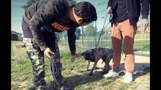 Chienne Hyper craintive / Cimarron uruguayen / SYM DOG TOULOUSE
