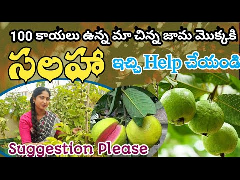 100 Guava fruits@small plant|Need your Suggestion|Healthy plant|Kitchen Garden|#jyothigardenvlogs