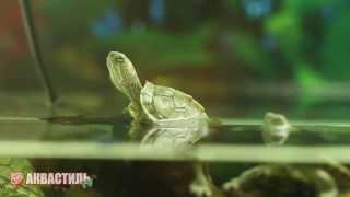 Черепаха Красноухая. Черепахи. Обитатели аквариума. Аквариумистика.
